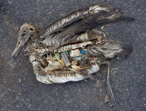 heartrending plight of the albatross chicks who call the Great Pacific Garbage Patch home