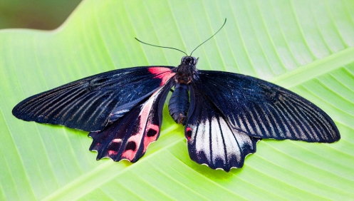one of nature's rarest phenomena with only 0.01 per cent of hatching butterflies being born as gynandromorph