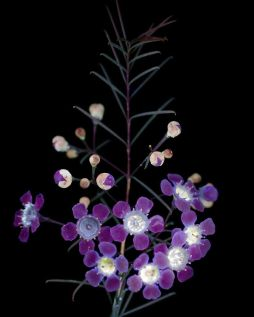 I-make-flowers-glow-to-photograph-their-invisible-light-58eb68f6a3e05__880