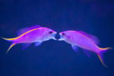 A pair of juvenile female Anthias posturing and preparing to lock jaws, a behavior that_s rarely a cause for concern.