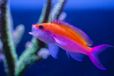 Pseudanthias bicolor – A Hawaiian and Eastern Pacific endemic that is very adaptable to the reef aquarium