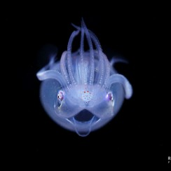 This is a paralarva of Thysanoteuthis rhombus. It was taken in the Ogasawara Islands. It has transparent body and do the very unique pose that along the arm on top of the mantle. Adult live in Mesopelagic.